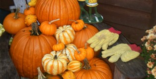 Yellow Gloves Season With Pumpkins